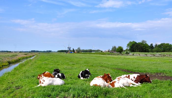 Cows enjoying their Sunday afternoon, door Michiel.